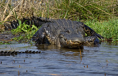 Time for a swim (heric09) Tags: alligator nature wildlife