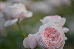 Rose 'Comtesse de Ségur' raised in France (naruo0720) Tags: rose frenchrose comtessedeségur ばら バラ 薔薇 フランスのバラ フレンチローズ コンテス・ドゥ・セギュール bredbydelberd sigmalenses