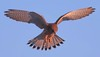 Kestrel (xDigital-Dreamsx) Tags: bird birdofprey raptor falcon hunter predator wildlife nature naturephotography bluesky naturethroughthelens coth5