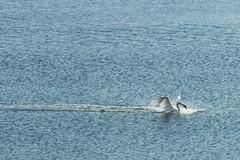 Weite - vastness II (e-box 65 (off for a while)) Tags: kiel schleswigholstein deutschland de weite meer sea vast vastness förde swan bird d7200 18 105