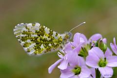 Aurore (jpto_55) Tags: papillon aurore fleur cardamine macro bokeh xe1 fuji fujifilm hautegaronne france omlens om50mmf2macro flickrunitedaward