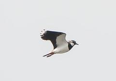 Sandwich Bay Lapwing flying