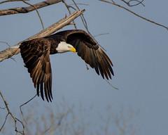 American Bald Eagle (corkemup52) Tags: birds baldeagle americanbaldeagle eagles eagle burchardlake nebraska nature nikond7000 nationaleaglecenter 200500 outdoors wildlife
