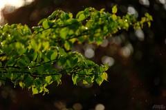 雨の音がした (atacamaki) Tags: xt2 50140 xf f28 rlmoiswr fujifilm jpeg撮って出し atacamaki nature rain japan ibaraki kasumigaura かすみがうら 雨 夕方 光 spring 出島の家 life day