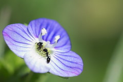 fourmiz (lignesbois) Tags: fleur insecte fourmi hymenoptère macro pentax k2000 smcpentaxdfa100f28macro couleur pentaxlife