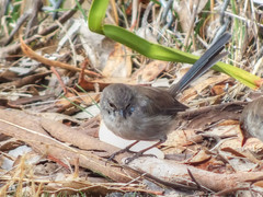 Superb Fairy Wren (AdamsWife) Tags: australia tasmania mountnelson bird birds birdwatcher birdwatching birdlife wren superbfairywren fairywren male