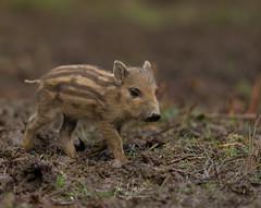 Wild boar piglet (Ian howells wildlife photography) Tags: ianhowellswildlifephotography ianhowells wildlife wildlifephotography nature nationalgeographic naturephotography unitedkingdom england wild wildboar humbug