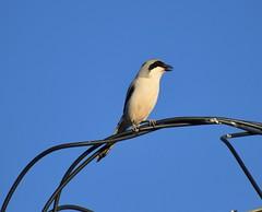 Desert grey shrike (Alex Srdic) Tags: shrike alnif shrikes song birdsong morocco
