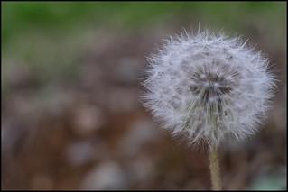 Dandelion signals spring