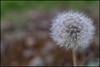 Dandelion signals spring (hej_pk / Philip) Tags: fujifilm fuji fujifilmxt1 fujixt1 xt1 xtrans 7artisans25mmf18 7artisans 25mm 25mm375mm manualfocus manual chineselens gwangju kwangju sydkorea blommor flower dandelion maskros vår 2018 test lenstest kinesisk löwenzahn pissenlit ดอกแดนดิไล provning closeup