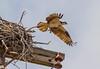 Moving Off The Nest (John Kocijanski) Tags: osprey bird birdofprey animal nest nature wildlife flight wings flying canon7d canon70300mmllens raptor
