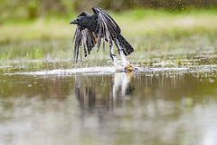 Phoenix rising (Paul Wrights Reserved) Tags: bird birding birdphotography birds birdwatching birdinflight inflight flying wings wing reflection reflections splash splashing splashes grass nature naturephotography wildlife wildlifephotography wildanimal