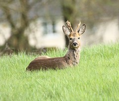 Roe Buck - Enjoying the spring sunshine (glostopcat) Tags: roebuck roedeer buck deer animal mammal wildlife spring april glos
