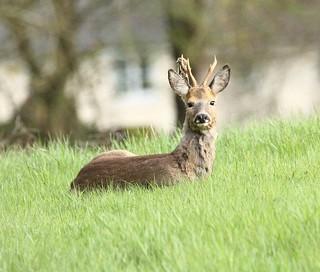 Roe Buck - Enjoying the spring sunshine