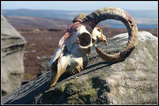 The Ram's Head