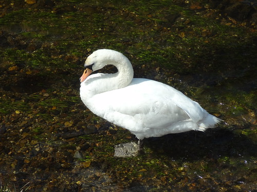Ellon Swan