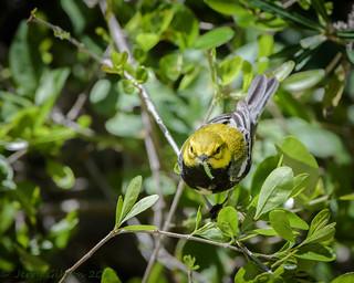 Fort De Soto Park male Black-throated Green Warbler 04-16-2018 (3 of 7)