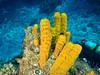Tube Sponge (R. Donald Winship Photography) Tags: aquaticlife cozumel divingunderwater orangetubesponge palancarcavesreef