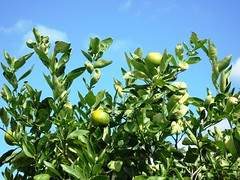 Autumn Sky with Oranges growing Queensland Australia. (ronniemillpool43) Tags: