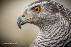 Aurora - Goshawk (pearl.winch) Tags: auroragoshawk birdspreyworkshop5thmarch2018 cressingtemple danielbridges edenfalconry 1093 diamondclassphotographer ngc coth coth5