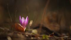 Shining in the Dark (Stefan Zwi.) Tags: krokus blume wald wildblume licht dunkel darkness light forest crocus flower macro bokeh wildflower coth5 coth ngc npc