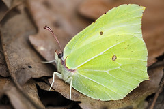 Gonepteryx rhamni (Charaxes14) Tags: gonepteryx rhamni biatorbágy lepidoptera insect kelebek insecta arthropoda arthropod sunny lighting shadow green macro animal butterfly white pieridae pierid yellow spring leaf garden beautiful wonderful amazing fresh cloudy beauty nature bokeh fantastic