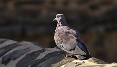 _DSC5422.Speckled Pigeon (columba guinea) (Berit Christophersen) Tags: bird ethiopia etiopia africa afrika gondar sonyalpha columbaguinea speckledpigeon spragledue