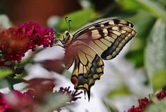 Papilio machaon (Hugo von Schreck) Tags: hugovonschreck papiliomachaon schmetterling falter butterfly macro makro insect insekt canoneos5dsr tamron28300mmf3563divcpzda010