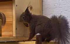 Nix mehr da! / Nothing left! (schreibtnix on 'n off) Tags: deutschland germany bergischgladbach tiere animals eichhörnchen squirrel sciurusvulgaris nahaufnahme closeup nixmehrda nothingleft olympuse5 schreibtnix