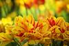 The Fire of Spring (preze) Tags: tulpen tulips tulipan blumen flower pflanze plant blüte blossom flora blütenblätter petals bunt colorful colourful britzergarten britzgarden sunny sonnig freundlich heiter efm55200 blumenbeet flowerbed tulpe blume gelb yellow spring frühling