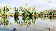 Spring reflections. Explored 3-23-18. #iphonephotography #iphonephoto #daffodils (peppermcc) Tags: iphonephotography iphonephoto daffodils stackables stackablesapp