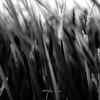 Marshland Grasses 055 (noahbw) Tags: d5000 dof nikon prairiewolfsloughforestpreserve abstract blackwhite blackandwhite blur bw depthoffield grass landscape marshland monochrome natural noahbw prairie square summer wetlands marshlandgrasses