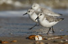 On your mark, get set, go. Doing what Sanderlings do best running. (Sandra Standbridge.) Tags: sanderling calidrisalba bird birds wader wildandfree wild wildlife sea seaside shoreline animal nature outdoor sand waves running coast