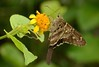 Urbanus proteus proteus (Linnaeus, 1758) (robertoguerra10) Tags: butterfly borboleta marrom hesperiidae urbanus proteus wulfia stenoglossa asteraceae america sul south brazil brasil rio grande norte