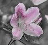 Rhododendron ferrugineum (MJRodock) Tags: rhododendrin azalea pink wooldland spring olympus telephoto 40150mm f28