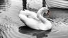 posing swan (Francis Mansell) Tags: swan muteswan cygnusolor monochrome blackwhite niksilverefexpro2 selectivecolour water river ripple ripples reflection riveravon stratforduponavon bird animal