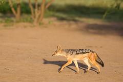 On a mission (Ring a Ding Ding) Tags: africa canismesomelas ndutu nomad serengeti tanzania action blackbackedjackal nature running safari wildlife arusharegion coth5
