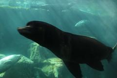 IMG_8035 (mudsharkalex) Tags: california longbeach longbeachca aquariumofthepacific aquarium seal seals