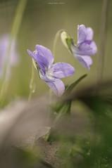 A Salute to Violet (oskaybatur) Tags: violet spring april 2018 oskaybatur nature pentaxkr samyang100 macro closeup dof bokeh menekşe turkei türkiye turkey çerkezköy mf manualfocus pentaxart justepentax
