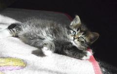 Sudarushka 5.5 w (valerkav) Tags: солнышки siberian kittens сибирская котенок