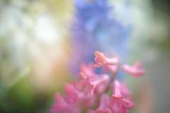 Sweet Pink... (KissThePixel) Tags: hyacinth pinkhyacinth pink pinkflower pinkflowers flower flowers bokeh bokehlicious sunlight light april spring garden mygarden cottage cottagegarden dof dofalicious depthoffield nikon nikondf 50mm nikkor12 beautiful fineart soft pastel macro macromonday 7dwf