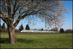 Grüner Fernverkehr und Blüten (FNIS) Tags: 403019 ice riedbahn grosrohrheim hessen eisenbahn frühling blüten