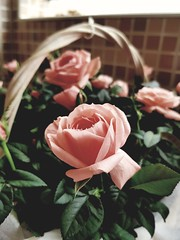 R o s e (andreea_mihailiuc) Tags: rose roses pink indoor andreeamihailiuc samsung day focus closeup 2017 depthoffield relax love cute abstractmacro