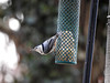 Content (Alemap.1) Tags: nuthatch feed feeder macro