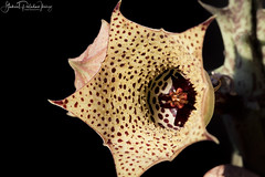 Huernia namaquensis (Gabriel Paladino Photography) Tags: plantae magnoliophyta magnoliopsida gentianales apocynaceae asclepiadoideae ceropegieae stapeliinae huernia planta suculenta flor estrella flower bloom succulent fivelobed glossy africa namaquensis plant vegetal collection collectable succullent crasa inflorescencia specimen canon suculentas rare exotic angiosperms eudicots asterids stapeliae 9000d 100mm macro closeup namaquacarrionflower