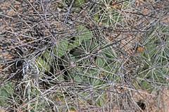 CAE011748a (jerryoldenettel) Tags: 180413 2018 cactaceae caryophyllales coreeudicots donaanaco littlenipplecactus mammillaria mammillariagummiferavarapplanata mammillariaheyderi mammillariaheyderivarbullingtoniana nm nipplecactus pancakenipplecactus rincon roade016 wildflower cactus flower
