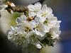 P1540366-Kirschblüten -1 (Bine&Minka2007) Tags: kirschen blüten obstbaumblüten frühling frühjahr spring sonne nature nahaufnahme makro macro baumblüten