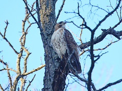 New Cathedral Male Hawk - 9026 (rbs10025) Tags: redtailedhawk buteojamaicensis morningsideheights manhattan nyc morningsidepark