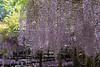 藤棚/ A wisteria trellis (Takeshi WATANABE) Tags: eos7dmark2 ef70200mmf4isusm wisteria