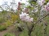 18p2477 (kimagurenote) Tags: 桜 cerasus prunus 花 flower plant 城山かたくりの里 shiroyama katakuri garden 神奈川県相模原市 sagamiharakanagawa 相模原市緑区 midorisagamihara